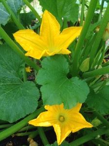 Zucchini Flowers...