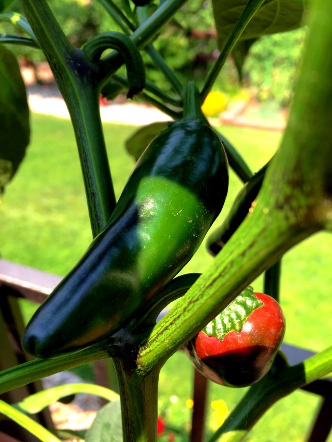 My Jalapeño Plant